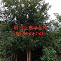 2018湖北荆州12-55公分多头朴树