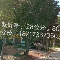 供应陕西紫叶李【红叶李】18公分厂