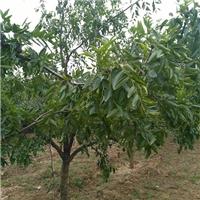 出售10公分大枣树出售8公分10公分枣树价格