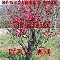苏州梅花树种植基地 梅花树桩盆景 苏州苗圃