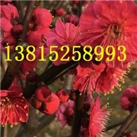 苏州梅花树,红绿梅,梅花树桩,苏州梅花园