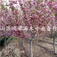 泰安樱花,日本樱花,日本晚樱供应商