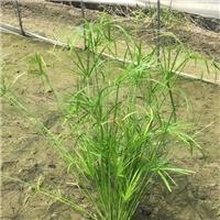 旱�悴荩��L�草大量供��