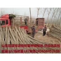 杨树苗、杨树苗基地、107杨树苗供应