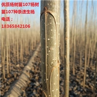 杨树苗价格、杨树苗批发、杨树苗供应