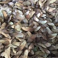 五角枫种子多少钱一斤厂