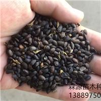 辽宁省黄菠萝种子多少钱一斤