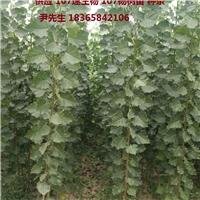 杨树苗107杨树苗107种条优质扦插段