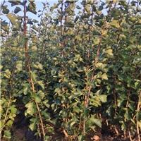 供应1-2公分优质精品树苗