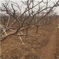 供应山楂树及小苗