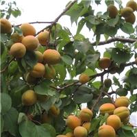珍珠油杏苗价格-供应1-2公分优质杏树苗