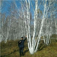 白桦种子几月份播种好