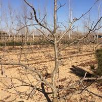 占地山楂树4公分、5公分、6、7、8公分出售