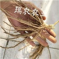 芦笋种子,芦笋种苗,芦笋种根