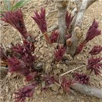 观赏牡丹苗1-5年优质牡丹种苗
