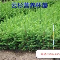 青扦云杉50-80cm  80-1cm 1cm-1.2cm