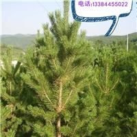 樟子松2m-2.5m 1.5m到2m