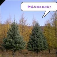 油松 2米-2.5米  2.5-3米
