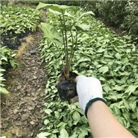 基地直销净化空气绿植合果芋 物美价廉厂