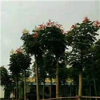 云南地区供应 栾树