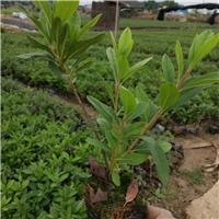 花园庭园花卉植物毛杜鹃批发价大量供应厂