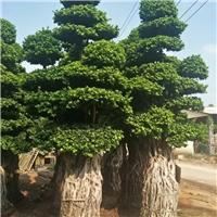 基地直销供应大型美观造型小叶榕大量供应
