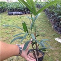 自产自销规格齐全细叶棕竹小苗物美价廉厂