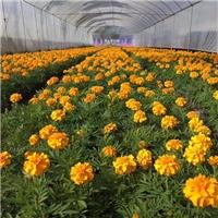 耐寒秋播花卉盆栽植物孔雀草大量供应厂