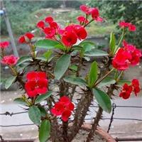 自产自销盆栽地栽花卉虎刺梅多规格供应