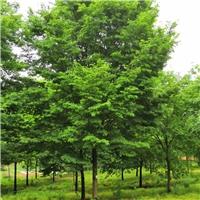 现在16公分榉树价格_精品3-30公分榉树报价