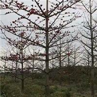 基地直销品种齐全风景树木棉多规格大量供应