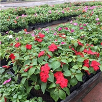 广州花卉供应基地供应四季易种凤仙质优价廉厂