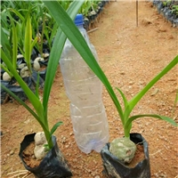 特价供应植物景观绿化工程苗文殊兰物美价廉厂