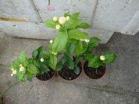 庭园景观盆栽花卉虎头茉莉长期大量供应厂
