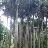 基地供应各种绿化苗木狐尾椰子 规格齐全厂