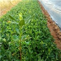 广州苗木供应基地直销优质海桐小苗