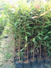 批发供应园林绿化观叶植物小苗红车