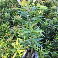 批发供应园林绿化观叶植物小苗红车厂