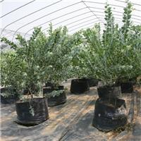 大量批发供应园林景观绿植金叶银合欢厂