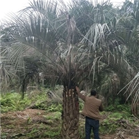 多规格批发供应造景大型树布迪椰子厂