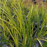 基地直销供应湿地绿化地被植物金叶石菖蒲