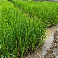 蓝花鸢尾 群锋水生植物有限公司基地直销