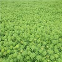 狐尾藻|群锋水生植物有限公司基地直销