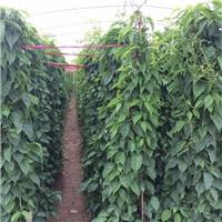 四季可种阳台庭园盆栽花卉苗炮仗花特价供应