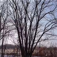 直销精品丛生茶条槭 2-9米高 树形优美