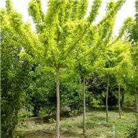 直销糖槭 金叶复叶槭 精品树形 量大优惠