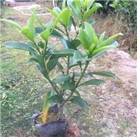 批发供应净化空气盆栽绿植非洲茉莉