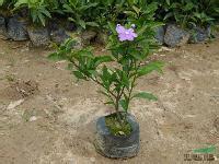 室内桌面盆栽观赏花卉鸳鸯茉莉批发供应厂