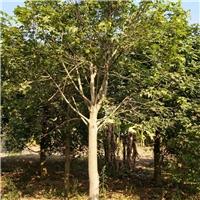 精品绿化行道树澳洲火焰木大量供应