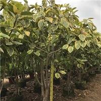多规格供应绿化工程苗木丛生富贵榕